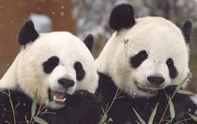 David Tennant narrates Wild About Pandas